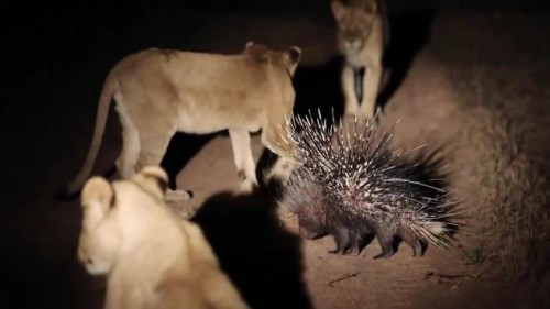 L'estrema difesa di un istrice contro 13 leonesse