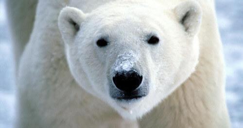 Uomo attaccato da un orso polare, aggredito e ucciso