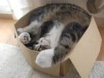 I gatti e la passione per le scatole: perchè?