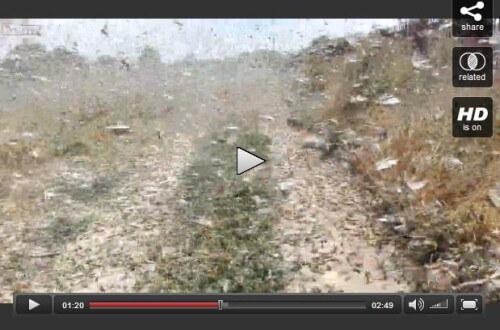 Migliaia di locuste invadono il nord della Russia, colpiti centinaia di ettari