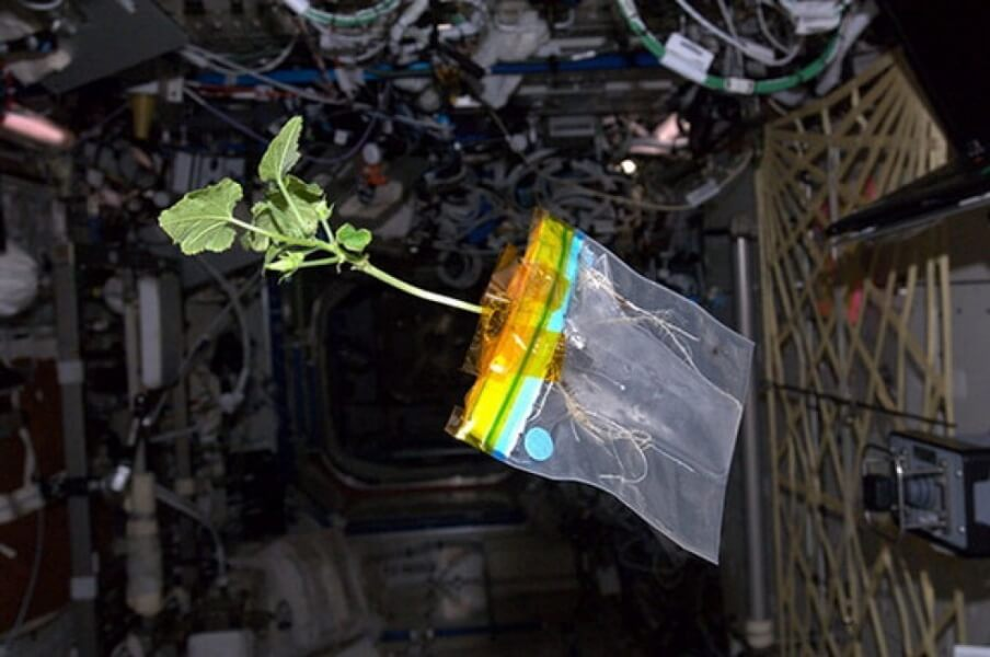 Lattuga spaziale raccolta sulla ISS: ha un sapore di rucola