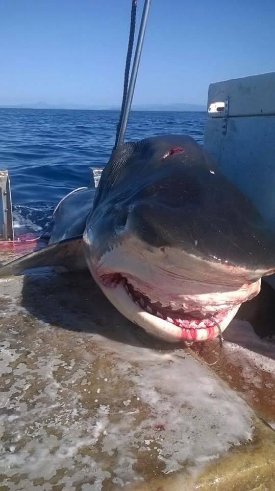 Pescato uno squalo di 6 metri a largo di Lennox Head, Australia