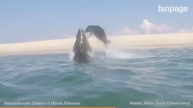 Squalo bianco attacca un'otaria che riesce a salvarsi, il video