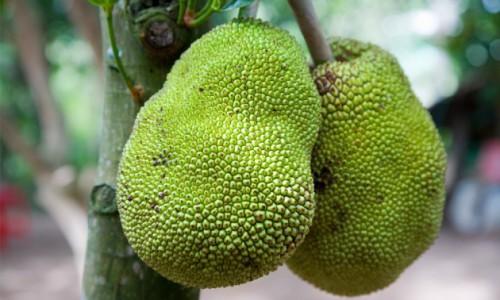 Giaca, un frutto per combattere la povertà?