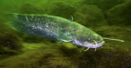Chernobyl, il pesce aggressivo che attacca chiunque si avvicini all'acqua