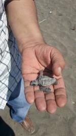 Strage di tartarughe caretta caretta sulla spiaggia di Eboli, indecenza dovuta ai bagnanti