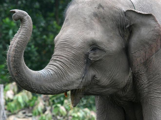 Perché gli elefanti non si ammalano di cancro