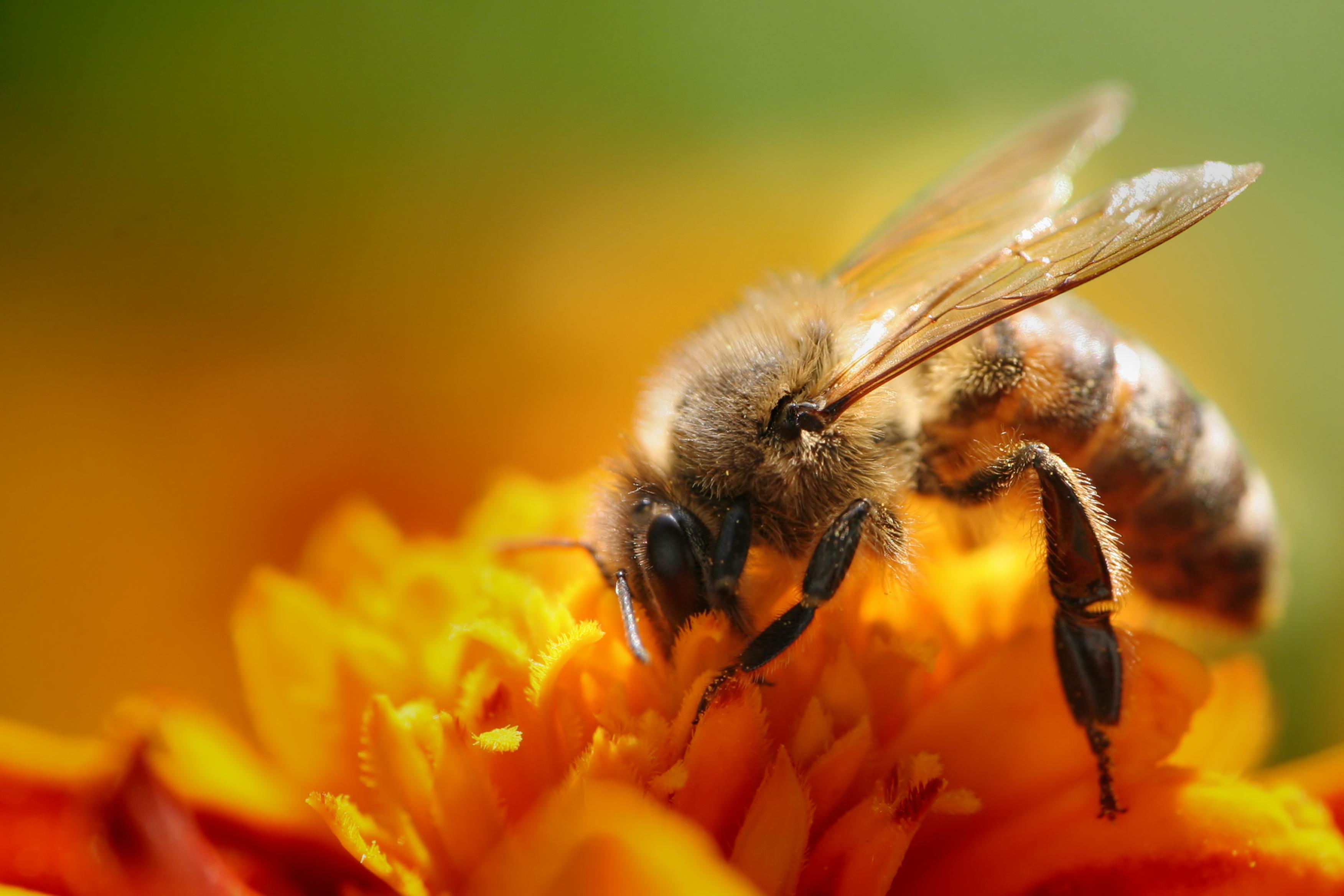 Api spargono pesticidi sulle colture
