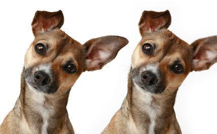 Clonare i nostri amati cani: una pratica usata sempre più spesso per non perdere chi ami