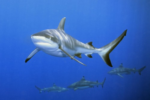 Inquinamento degli Oceani: gli squali sono a rischio