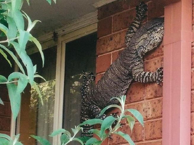 Australia: una lucertola gigante attaccata al muro di casa
