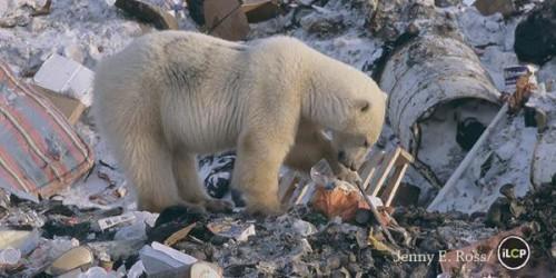 Orsi polari tra la spazzatura: l'emblematica immagine dell'inquinamento