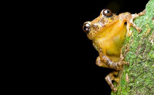 India, scoperta una rana estinta 137 anni fa