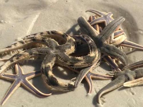 Florida: il mistero delle stelle marine spiaggiate sulla costa