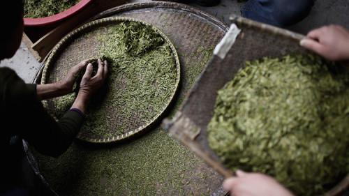 Cina,  scienziati scoprono il thè più antico del mondo