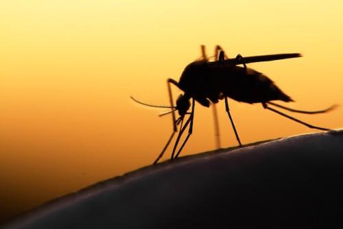 Brasile, in arrivo le zanzare OGM per combattere il virus Zika