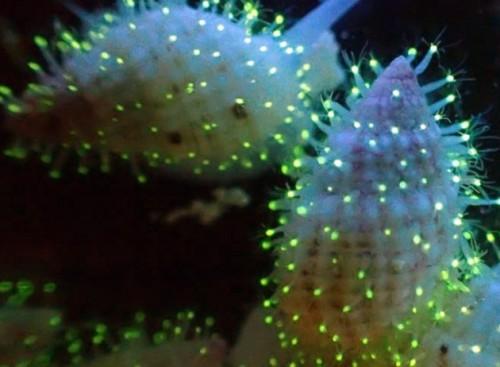Polipi fluorescenti, la nuova specie animale scoperta nel Mar Rosso