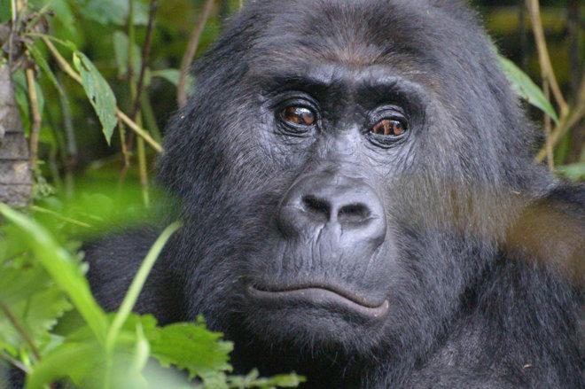 Congo, a rischio estinzione il gorilla più grande del mondo