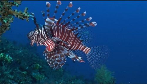 Pesce scorpione: un pericolo gravissimo per i pesci dell'Atlantico