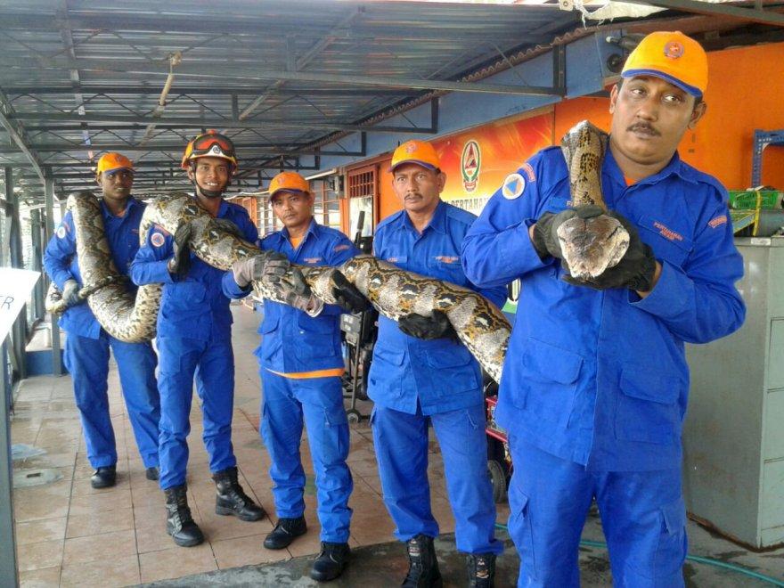 Pitone di 250 chili catturato in Malesia. Le foto del ritrovamento