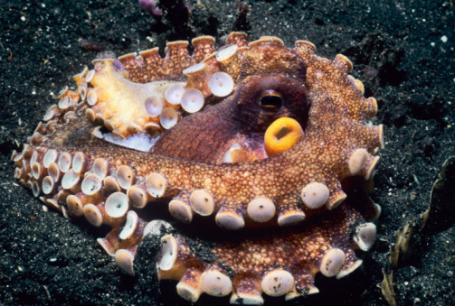 Nuova Zelanda: polpo fugge dell'acquario e raggiunge l'oceano