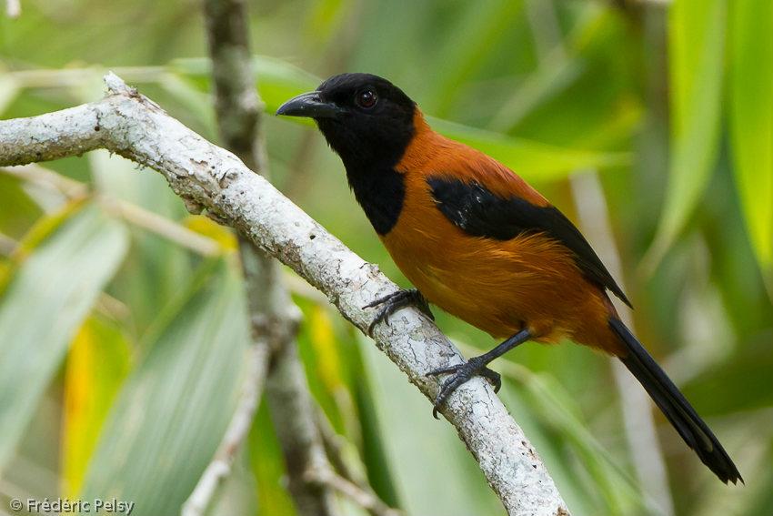 Uccelli velenosi: scoperte sei specie in Nuova Guinea
