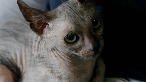 Rarissimo gatto 'lupo' ritrovato in Sudafrica: l'incredibile scoperta