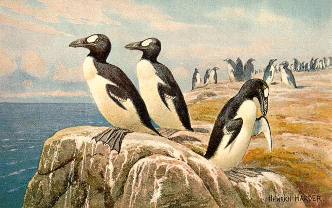 Alca Impenne, il 'pinguino' che diecimila anni fa popolava il Salento