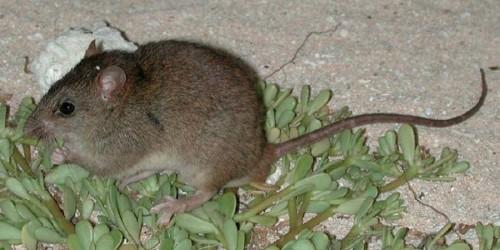 Cambiamenti climatici: scompare la prima specie mammifera