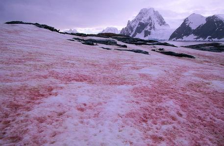 Neve rossa, gli effetti sullo scioglimento dei ghiacci dell'Artico