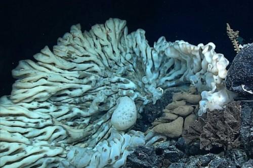 Spugna gigante scoperta nelle Hawaii: misura ben sette metri e mezzo