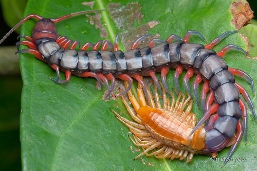 Natura: scoperta nuova specie di scolopendra carnivora e velenosa