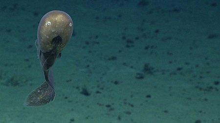Fossa delle Marianne: pubblicate le foto delle specie animali scoperte