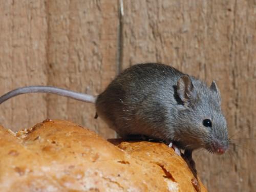 Topi: che malattie possono trasmettere? La riposta degli esperti
