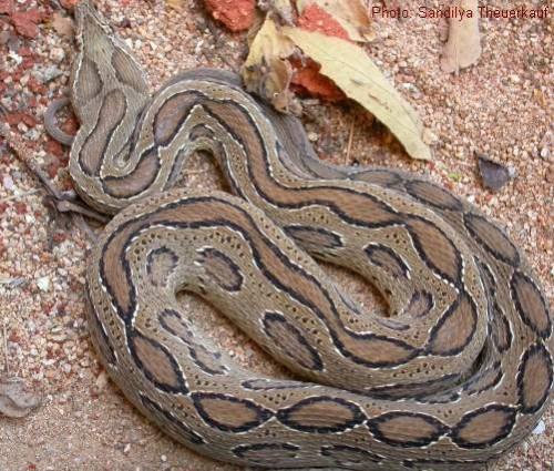Serpente più pericoloso al mondo? La vipera di Russel