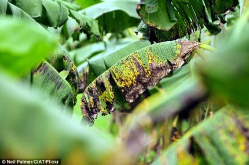 Banane a rischio estinzione nei prossimi cinque anni