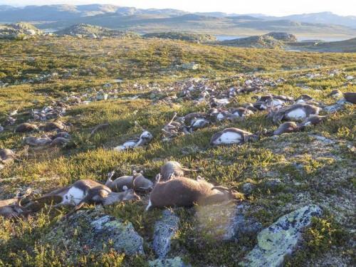 Norvegia: fulmine uccide ben 323 renne