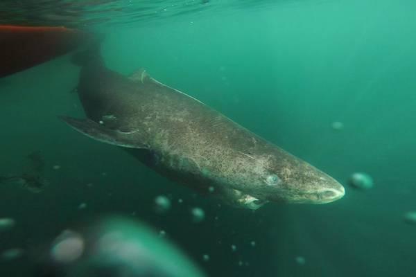 Squali di 400 anni scoperti in Groenlandia: una scoperta sensazionale