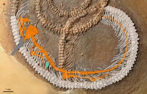 Fossile: trovato un serpente con all'interno altri due animali
