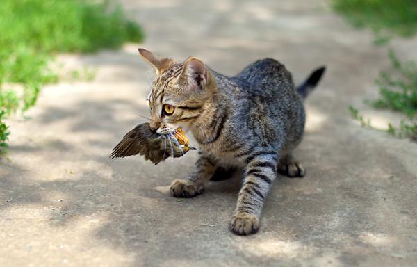 Gatti dannosi per fauna selvatica: miliardi di uccelli uccisi ogni anno