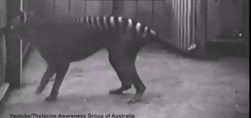 Natura: la tigre della Tasmania forse non si è mai estinta