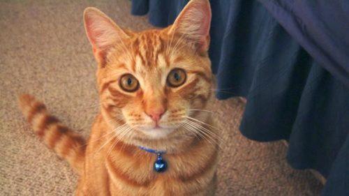 Gatti, il collare con il sonaglio è pericoloso