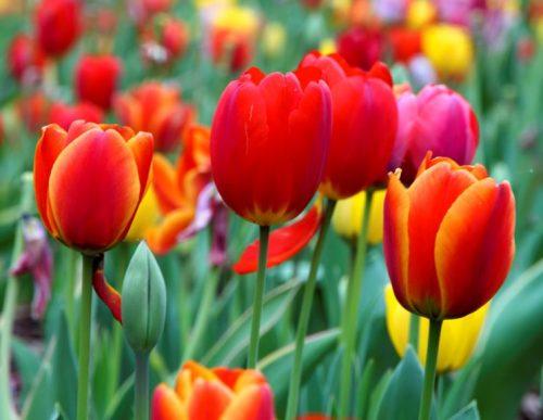 I migliori bulbi da tulipani da piantare nel vostro giardino