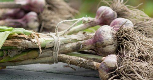 Mangiare aglio rende l'uomo più attraente, la ricerca