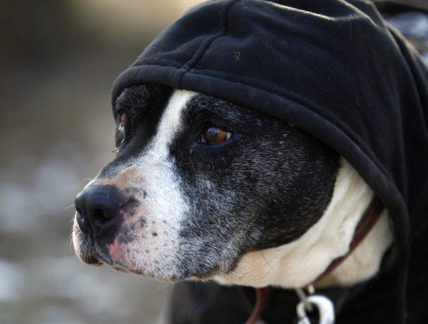 Il cane ha freddo? Ecco i segnali da non sottovalutare