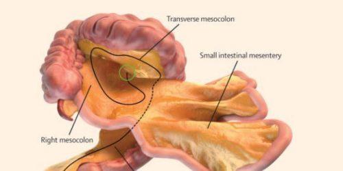 Mesentere, scoperto un nuovo organo del corpo umano
