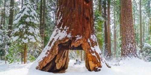 Usa: Pioneer Cabin Tree, la sequoia gigante non c'è più