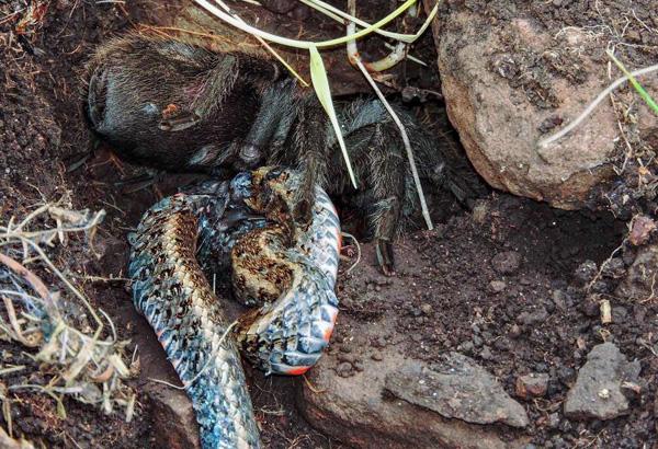 Natura: tarantola mangia serpente, incredibile osservazione in Brasile