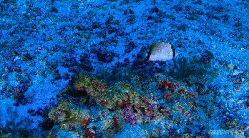 Natura: le prime immagini della barriera corallina amazzonica