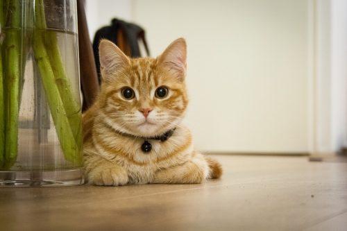 Gatti domestici: scoperte sostanze chimiche nel sangue, rischi anche per l'uomo